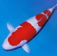 红白锦鲤鱼怎么养比较好