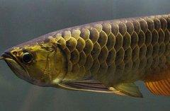 金龙鱼发色过程阶段详解?