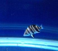 小印尼虎鱼吃什么长得快