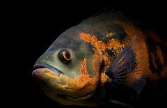 地图鱼常见病有哪些怎么