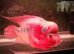 罗汉鱼怎么养最好?