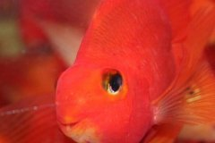 鹦鹉鱼水温控制在多少度最好