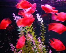 鹦鹉鱼繁殖技术和环境要