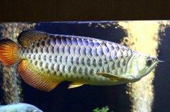 红尾金龙鱼多少钱?