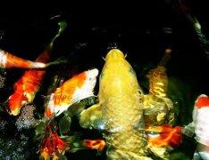 锦鲤鱼褪色的原因有哪些?