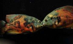 地图鱼吃什么食物长得快