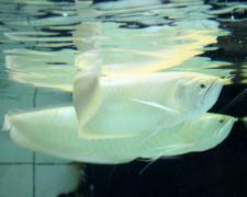 银龙鱼掉鳞怎么办如何治疗?