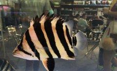 印尼虎鱼苗怎么养有什么技巧?