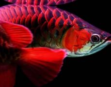 今年红龙鱼价格多少钱一