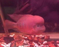 罗汉鱼吃什么起头比较快