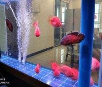 红鹦鹉鱼繁殖方法和技巧