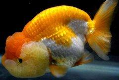 兰寿金鱼的饲养方法与技