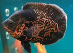 地图鱼不吃食原因有哪些