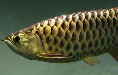 金龙鱼吃什么比较好