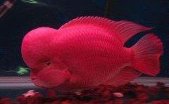 红马罗汉鱼怎么养有哪些