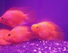 红鹦鹉鱼死前征兆从哪些方面观察