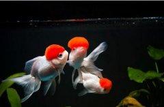 金鱼饲料哪种好金鱼吃什