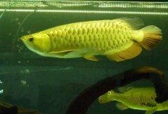 观赏鱼金龙鱼价格多少钱