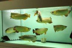 养金龙鱼使用杀菌灯有用