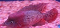 珍珠罗汉鱼能长多大会起头吗
