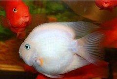 雪鹦鹉鱼贵不贵好养吗?