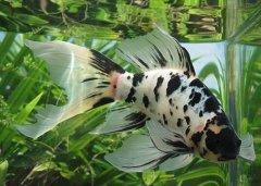 长尾草金鱼怎么养有什么