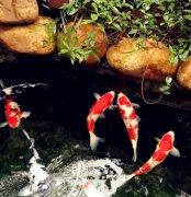 [锦鲤鱼]锦鲤和什么鱼可以