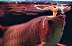 金龙鱼偏食怎么办如何预