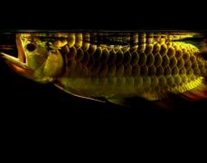 金龙鱼的习性是什么如何