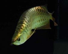 金龙鱼肠炎怎么治疗?