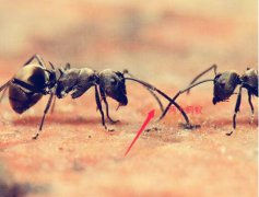 蚂蚁怕什么气味和东西(蚂蚁的天敌是什么)