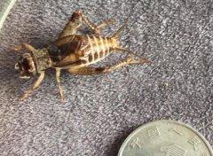 蟋蟀吃什么,一种就是饲养的蟋蟀