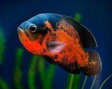 地图鱼价格多少钱一只,地图鱼吃什么长得快?