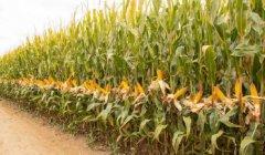 中国玉米亩产纪录刷新,最高亩产达到1663.25公斤